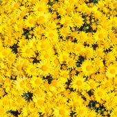 Background of yellow flowers — Stock Photo