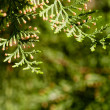 Stock Photo: Background of branches of tree thuja