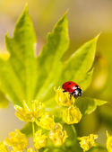 Ladybug on flowers of linden wood — Stockfoto