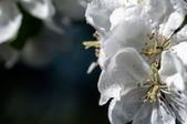 Drop of water on flower apple — Stock Photo