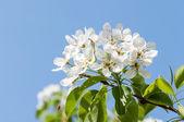 Apple flower — Stock Photo