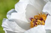 Chinese peony flower — Stock Photo