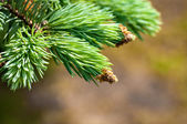 Young fir branch — Stock Photo