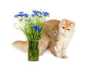 Kitten and cornflowers — Stock Photo