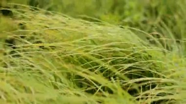 Sedge Grass Under The Windy Weather — Stock Video