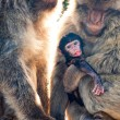 Barbary Macaques — Stock Photo #46965867
