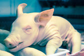 Whole raw pig — Stock Photo