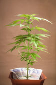 Cannabis business — Stock Photo