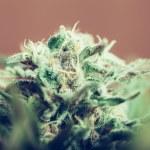 Cannabis bud — Stock Photo #49378199