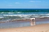在海滩上玩的狗 — 图库照片
