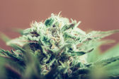 Cannabis bud — Stock Photo