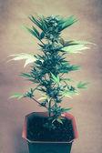 Planta de cannabis — Foto de Stock