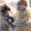 Barbary Macaques — Stock Photo #51063273