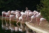 Group of flamingos in the park — Stock Photo