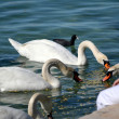 Girl feeding swans in Lake Geneve — Stock Photo