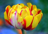 Yellow and red tulip in bloom — Stock Photo