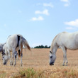 White horses grazing in the meadow — Stock Photo