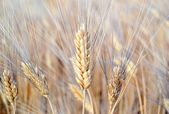 Wheat field with ears of wheat blossom — Stock Photo