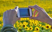 Photographing a sunflower field — Stock Photo