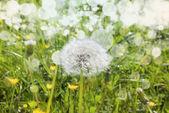 white dandelion on a green meadow close up — Foto de Stock