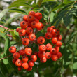 Red rowan — Stock Photo