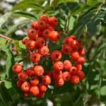Red rowan — Stock Photo #12620217