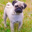 Dog fawn pug breed on green grass in summer — Stock Photo #13742303