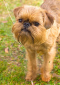 Red dog Brussels Griffon breed on the green grass in the summer — Stock Photo