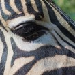 Close-up portrait of a zebra — Stock Photo