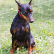 Dog Miniature Pinscher breed sitting - Zdjęcie stockowe