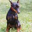 Stock Photo: Dog Miniature Pinscher breed sitting