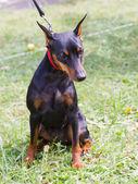Pies rasy pinczer miniaturowy siedzi — Zdjęcie stockowe