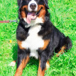 Dog breed Bernese mountain sitting and smiling — Stock Photo