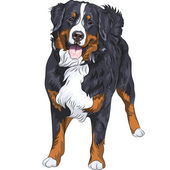 Vector dog breed Bernese mountain dog standing and smiling — Stock Vector
