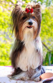 Vector pedigreed dog Biewer Yorkshire terrier — Stock Photo