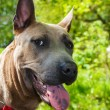 Close-up portrait of a dog breed Thai Ridgeback — Stock Photo