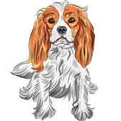 Vector color sketch of the dog Cavalier King Charles Spaniel bre — Stock Vector