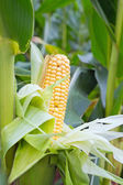 A cob of sweet corn — Stock Photo