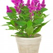 Potted cockscomb celosispicata — Stock Photo #32378037