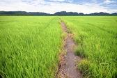 Green farm ric — Stock Photo