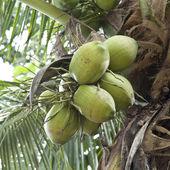 Coconut at tree — Stock Photo