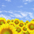 Sunflowers — Stock Photo #25407043