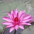 Pink lotus. — Stock Photo #27239127