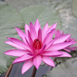 Pink lotus. — Stock Photo