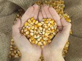 Heart corn — Stock Photo