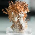 Frozen enoki mushrooms sheaf in petri dish — Stock Photo #27702859