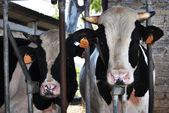Rundvlees in een stal — Stockfoto