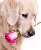 Cute retriever with rose — Stock Photo