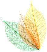 Skeleton leaves — Stock Photo