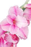 Roze gladiolen — Stockfoto